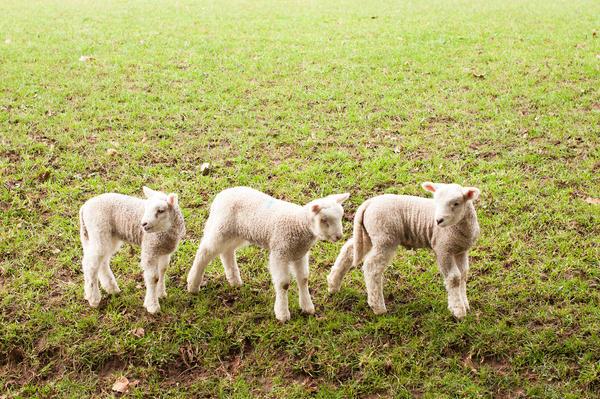 three lambs by HaruNiji