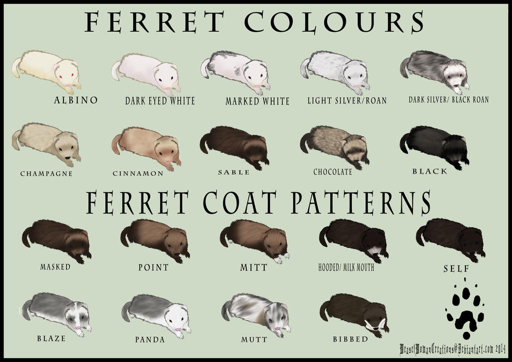 ferret colour and coat pattern chart by weaselwomancreations on