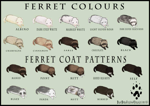 Ferret Colour and Coat Pattern Chart