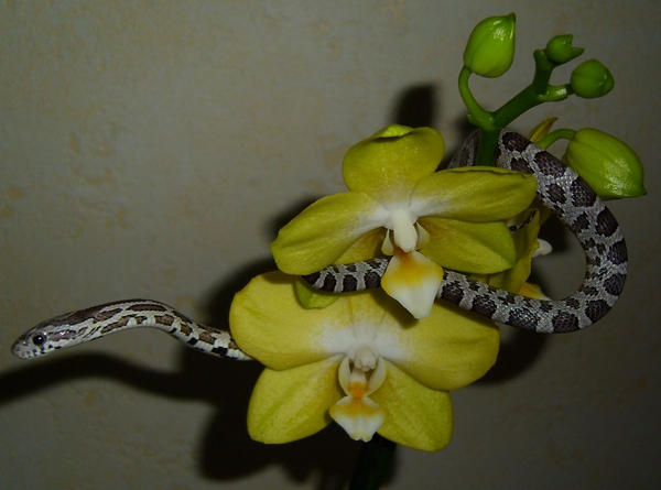 Cornsnake, Anery + Orchid by tjenni on DeviantArt