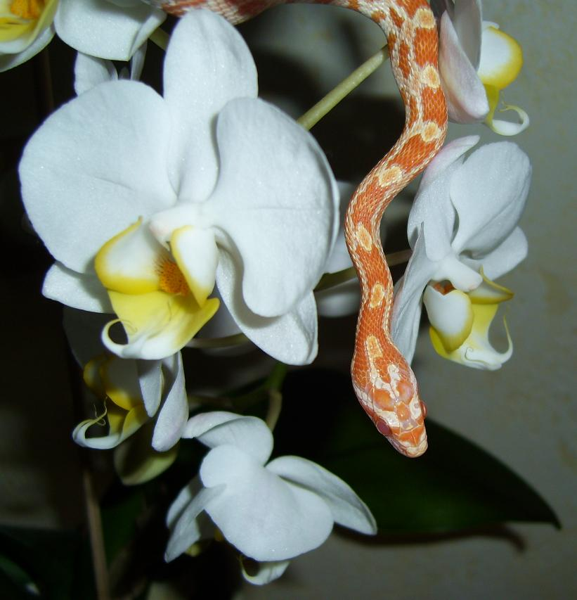 Cornsnake, Creamsicle + Orchid by tjenni on DeviantArt