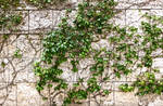 Ivy Wall Texture 02-by-justalittleknotty