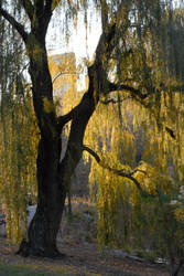 The willow tree by ashleerosaria