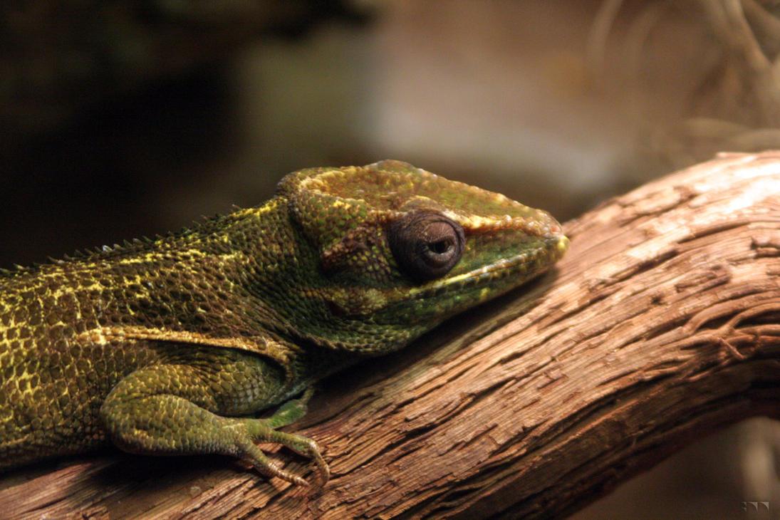 Lizard 1 by robertllynch