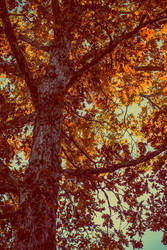 Autumn Tree by robertllynch