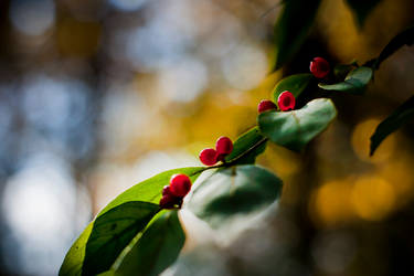 Berries by robertllynch