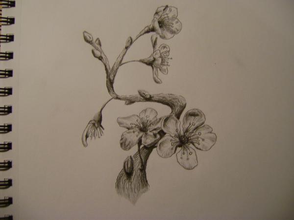 cherry blossom flower pencil drawing wwwimgkidcom
