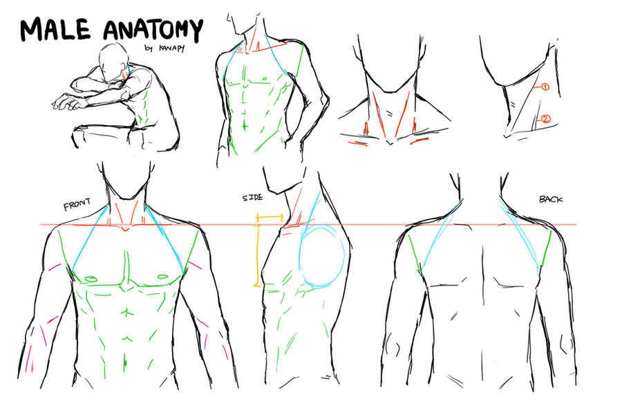 MALE ANATOMY By Kanapy-art On DeviantArt