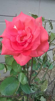 Photo - Red Rose