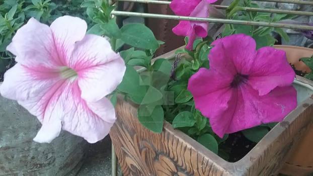 Photo - Pretty Petunias