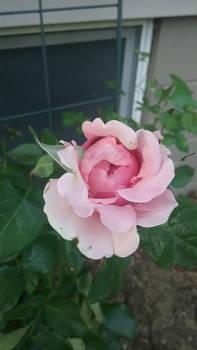 Photo - Pale Pink Rose
