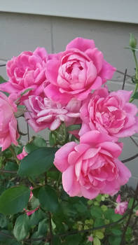 Photo - Pink Roses