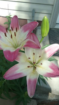 Photo - Pink Tiger Lilies
