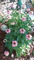 Photo - Pink Coneflowers 2