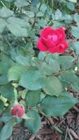 Photo - Pink Rosebush 4