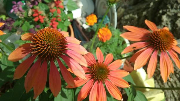 Photo - Orange Coneflowers