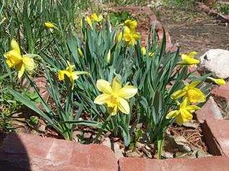 Photo - Yellow Daffodil Patch 2021
