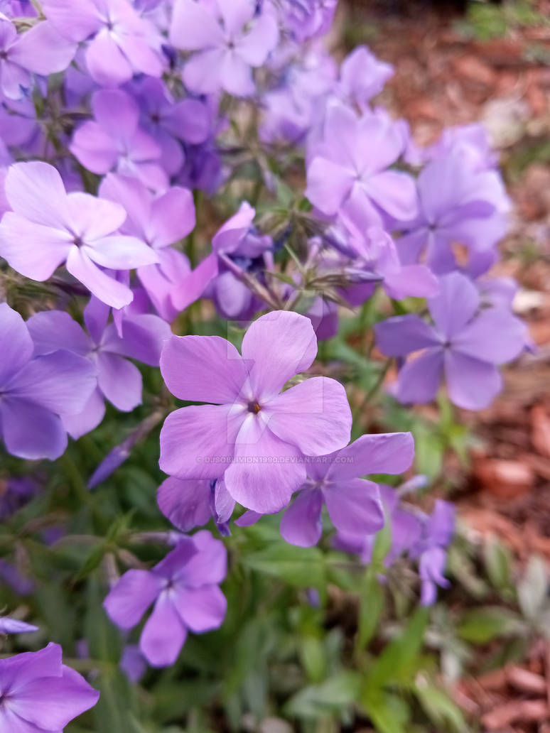 Photo - Purple Flowers 2021