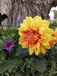 Photo - Bellflower and Dahlia 2021