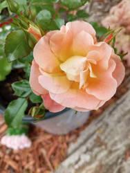 Photo - Peach Rose 2021