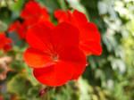 Vibrant Red Geranium