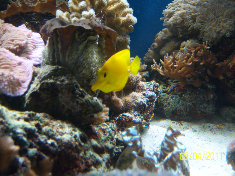 Am a little yellow fish in the deep blue sea p by for What kind of fish am i