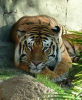 Bengal Tiger Gaze Two by Eviecats