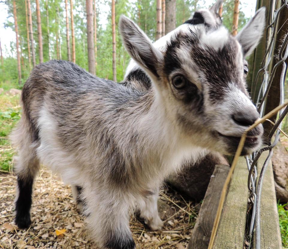 Goat! by ramond997