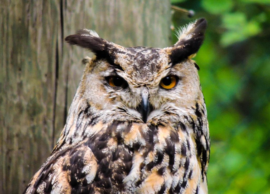 Eurasian eagle-owl by ramond997