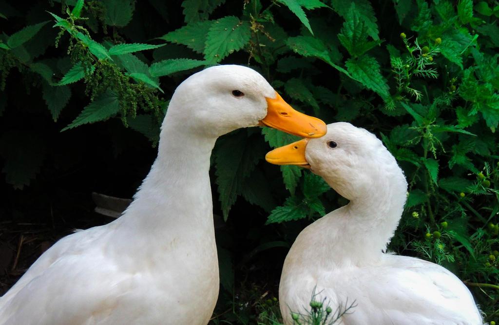 Ducks! by ramond997