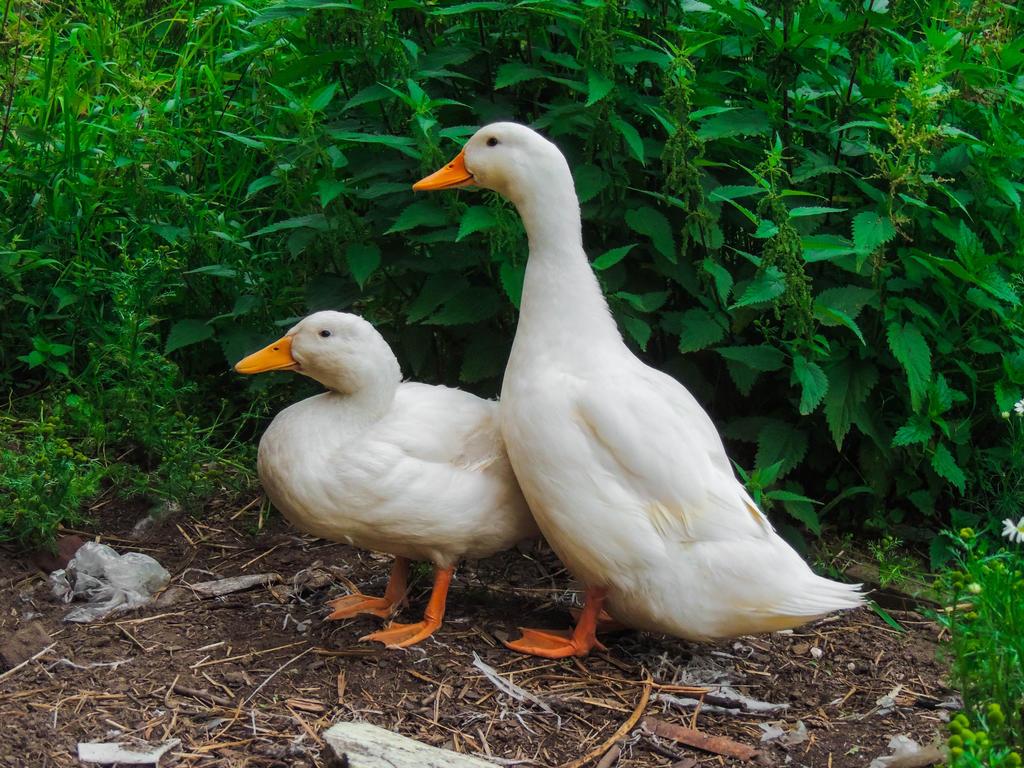 Ducks II by ramond997