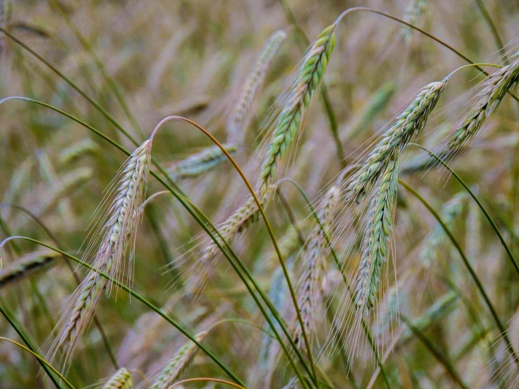 Rye by ramond997