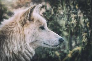 White Tundra Wolf by GJ-Vernon