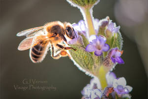 February Bee by GJ-Vernon