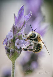 Bee and the Lavender by GJ-Vernon
