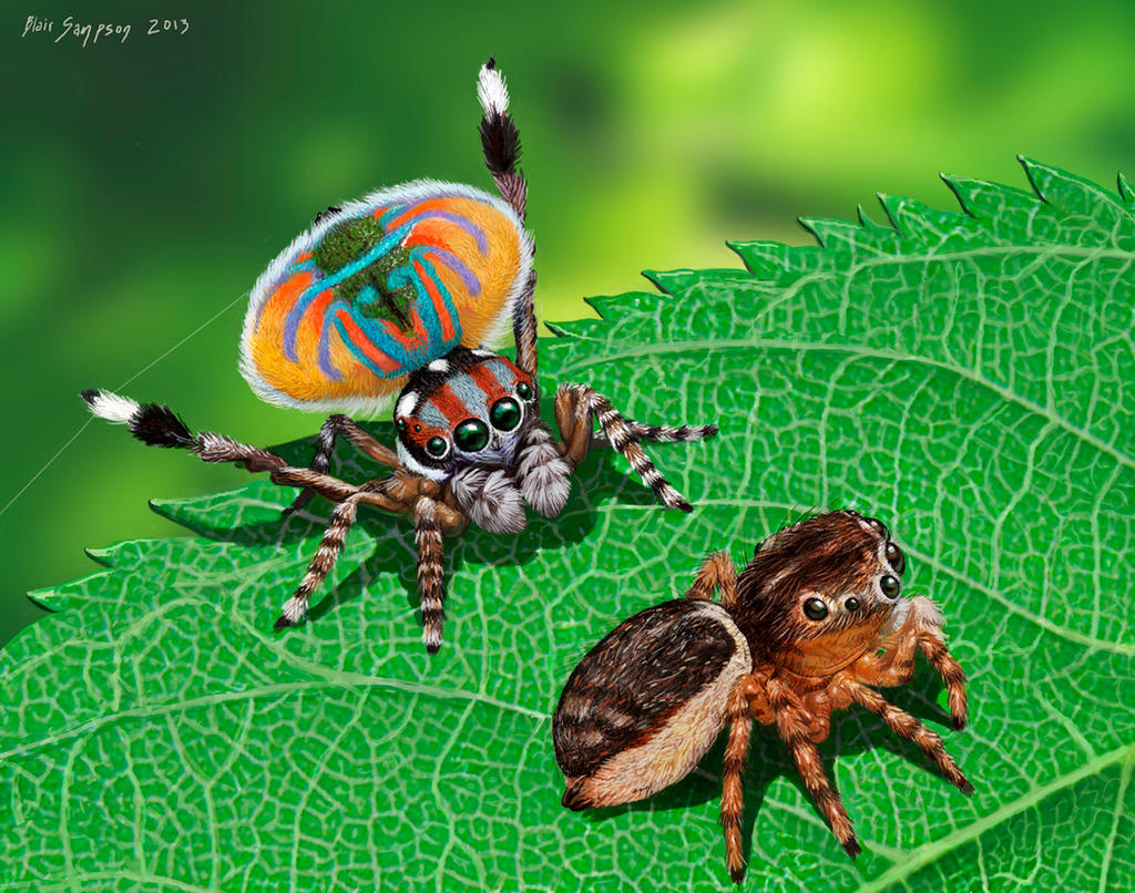 Peacock jumping spiders - photo#43