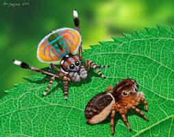 Peacock Spider, Maratus volans Salticidae