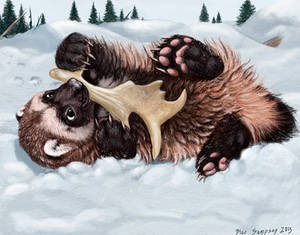 Wolverine cub noming a caribou antler