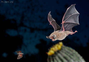 California leaf nosed bat chases his breakfast