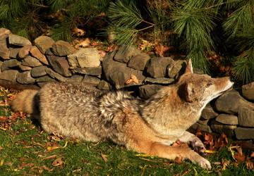 Kipcha the Coyote