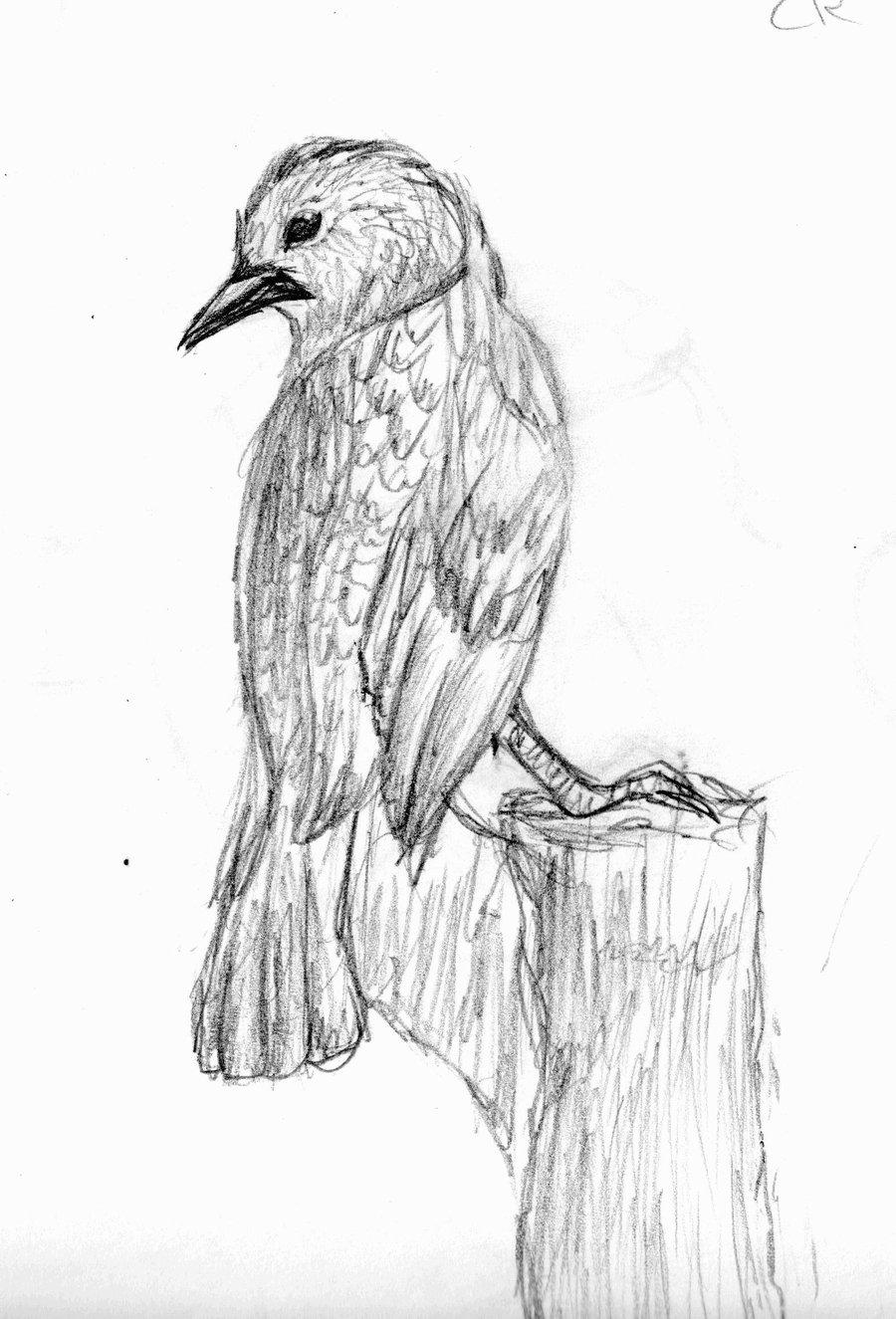 CR Detailed Bird Sketch By Kalina1176 On DeviantArt