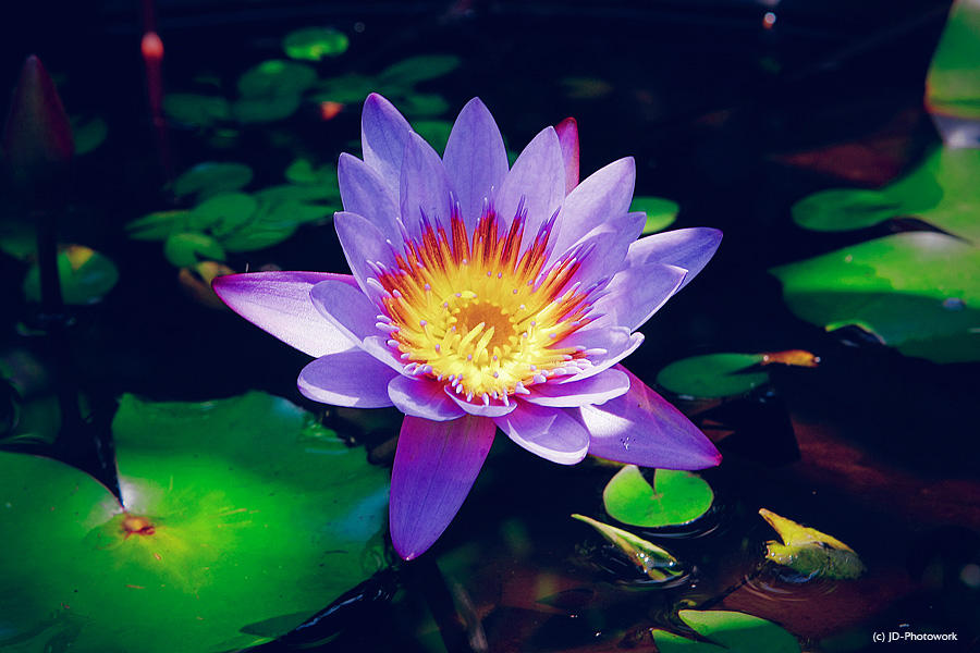 Lotus by jd-photowork