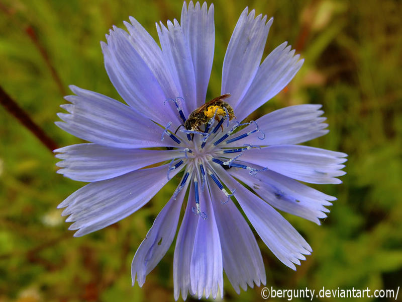 Chicory with bee by bergunty