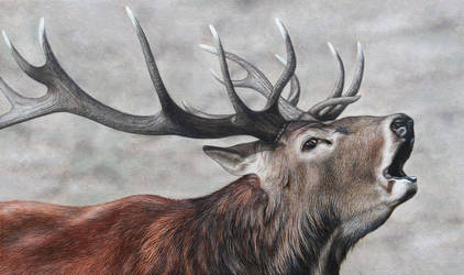 Red Deer Stag. Oil on panel.