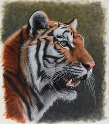 Siberian Tiger. Oil on panel. 10.5 x 12 inches. by painterman33