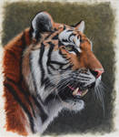 Siberian Tiger. Oil on panel. 10.5 x 12 inches.