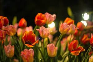 Red Tulips - Photograph by art-nattanon