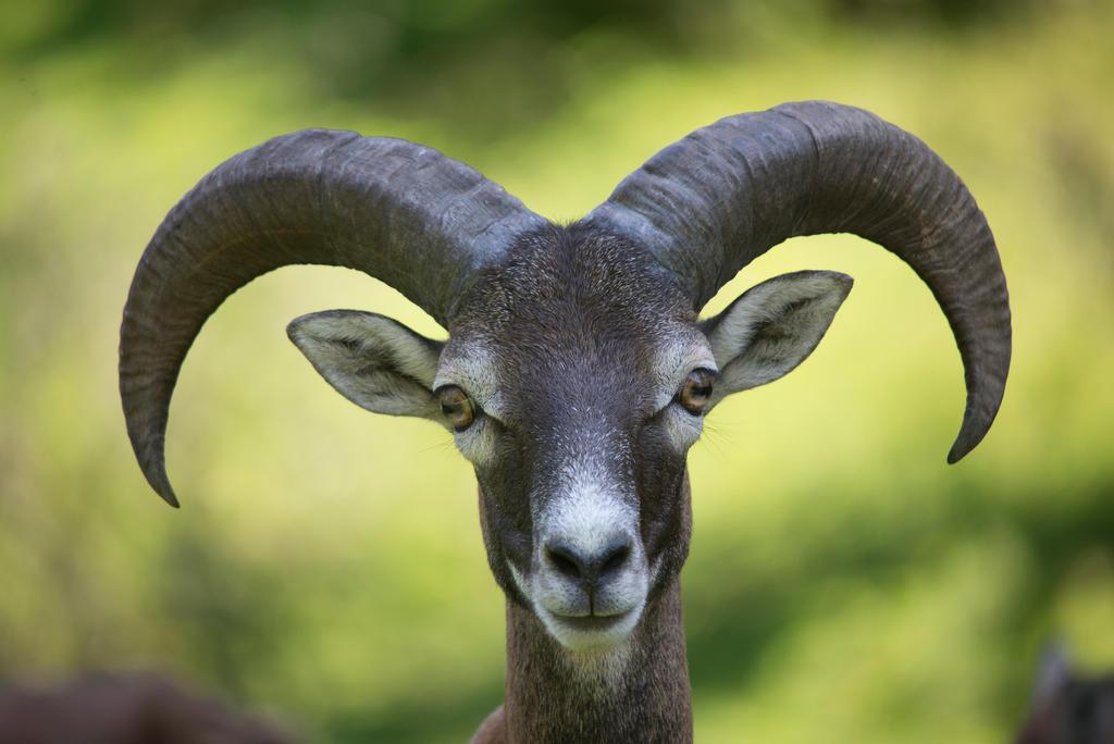 Goat by BDStudio