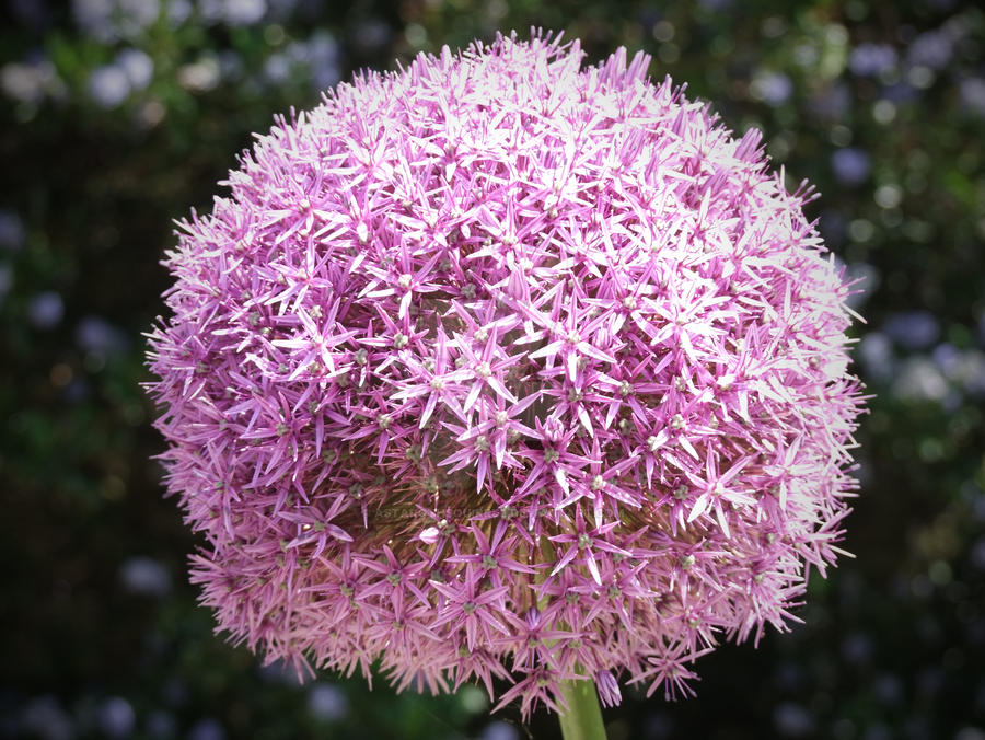 Allium Giganteum by AstarothSquirrel