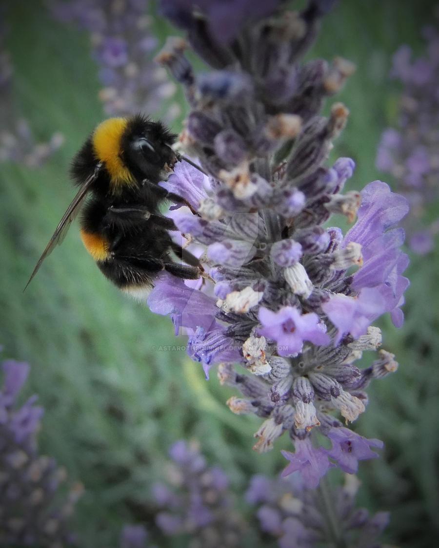 Bee on Lavendar by AstarothSquirrel